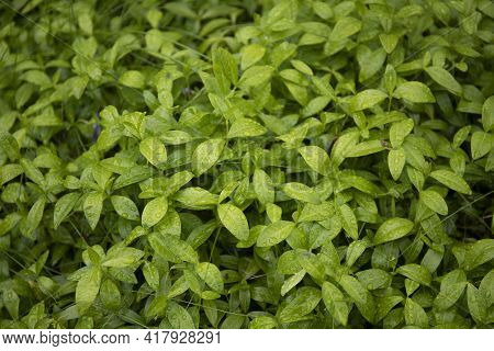 Fresh Green Leaves Natural Background Close Up