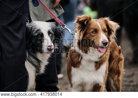 Russia, Krasnodar April 18, 2021-dog Show Of All Breeds. Border Collie Breeding Show At The Dog Show