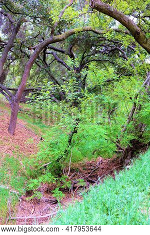 California Live Oak Trees Surrounding A Dry Creekbed Taken At An Oak Woodland In The Rural Puente Hi
