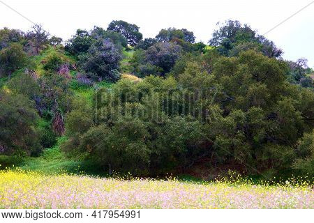 Lush Oak Trees On A Rural Hillside Surrounded By A Meadow Covered With Colorful Wildflowers During S