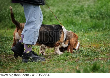 Russia, Krasnodar April 18, 2021-dog Show Of All Breeds. A Large Dog With Short Legs And Long Red Ea