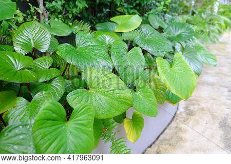 Fresh Golden Pothos, As Known As Epipremnum Aureum Or Australian Native Monstera Or Centipede Or Ivy