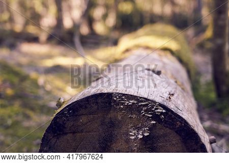 The Trunk Of A Felled Tree Covered With Moss In The Forest