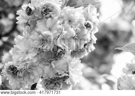Botanical Garden Concept. Tender Bloom. Aroma And Fragrance. Spring Season. Tenderness. Branch Of Sa