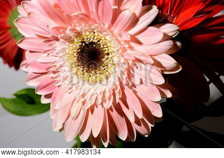 Gerber Very Nice Colorful Flower Close Up