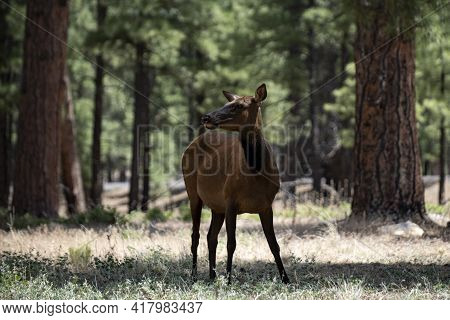 Nature Deer Fawn In Forest. Bambi, Capreolus. White-tailed Young Roe. Beautiful Wildlife Buck.