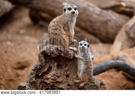Mother Meerkat With Baby On Guard Sitting On A Wood Piece. Meerkat Or Suricate Adult And Juvenile.