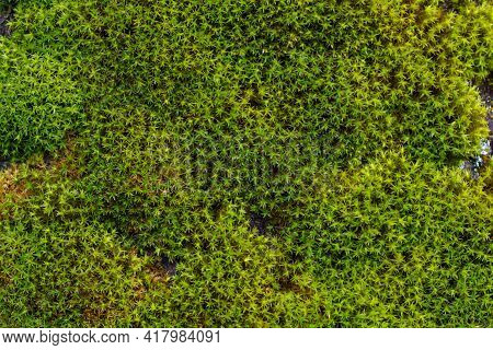Green Moss In The Forest, Moss Closeup. Beautiful
