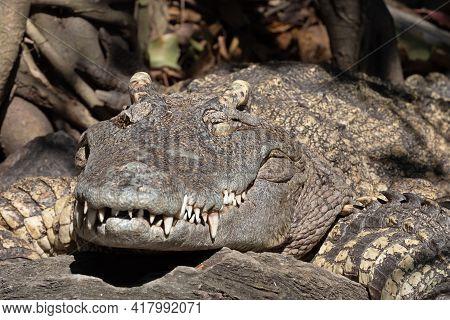 Close Up Crocodile Was Sunbathing On The Ground