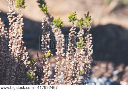 Dry Heather Flowers, Macro Photo. Calluna Vulgaris Known As Common Heather, Ling, Or Simply Heather