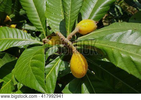 Amazing Fruit Trees In A Decorative Truss Botanical Garden Emek Hefer