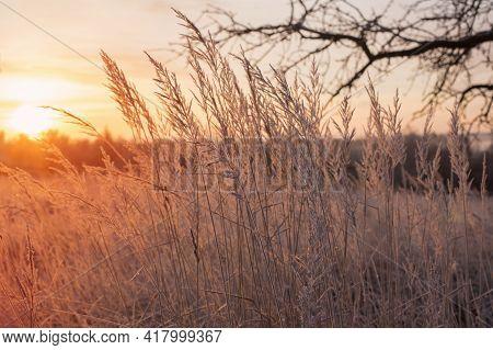 Plants In Hoarfrost On  Winter Field At Sunset
