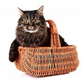 Fluffy cat in a wattled basket on a white background poster