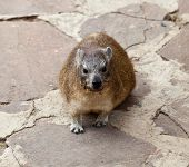 The somewhat smaller pachyderm the rock hyrax. Serengeti National Park Tanzania poster