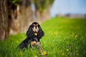 american cocker spaniel sitting on the grass in autumn poster