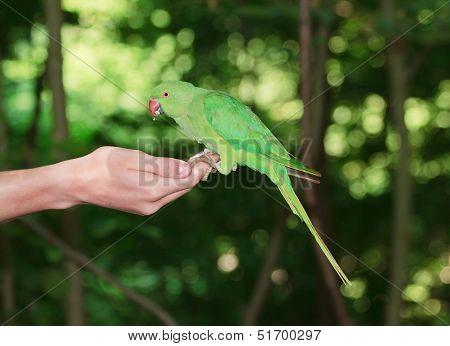 Collared parakeet put on a hand, eating seeds (France)