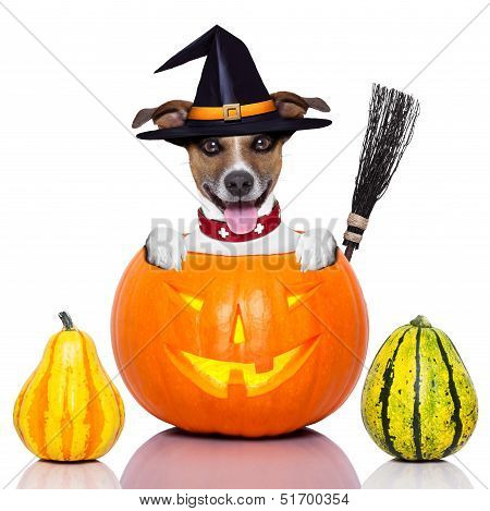 halloween dog inside a pumpkin looking spooky with a witch broom poster