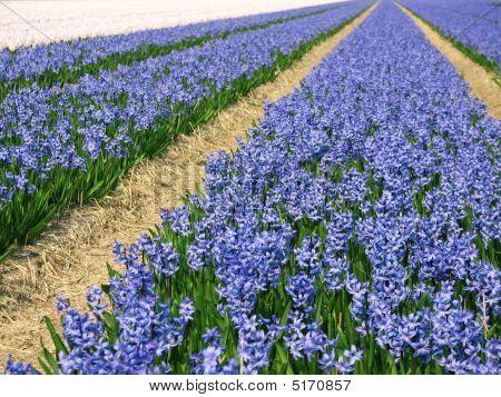 Blumen in holland