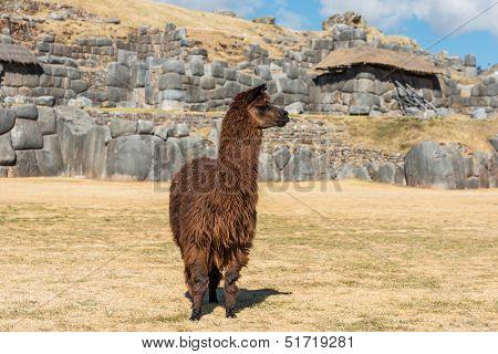 Alpaca at Sacsayhuaman, Incas ruins in the peruvian Andes at Cuzco Peru South America