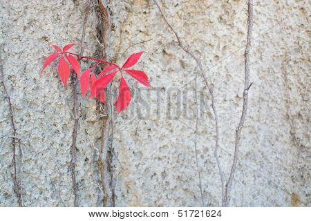 Red Leaves Virginia Creepers