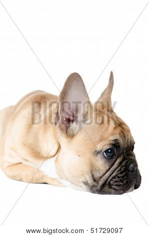 French Bulldog Before White Background