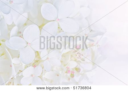 Bright Luminous White Hydrangea Flowers