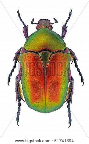 Protaetia cuprea flower beetle
