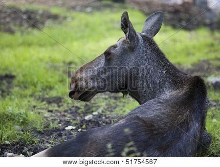 Close up of an elk