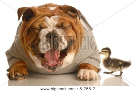Bulldog Laughing At Mallard Duck