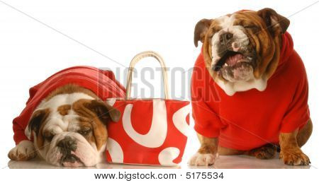 money woes - two english bulldog in red sweaters with red purse poster