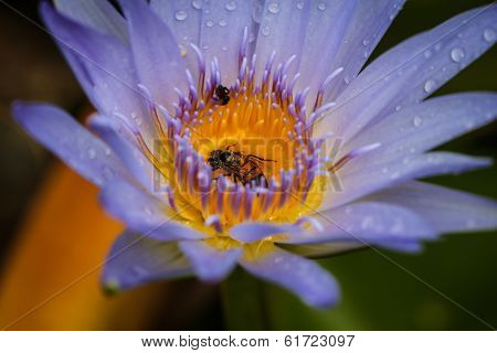 Bee in Waterlily