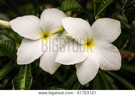 Native Frangipanis