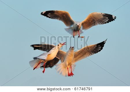 Seagulls Are Flying To Eat Food During Sunset