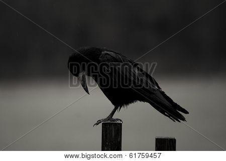 Black Crow Down