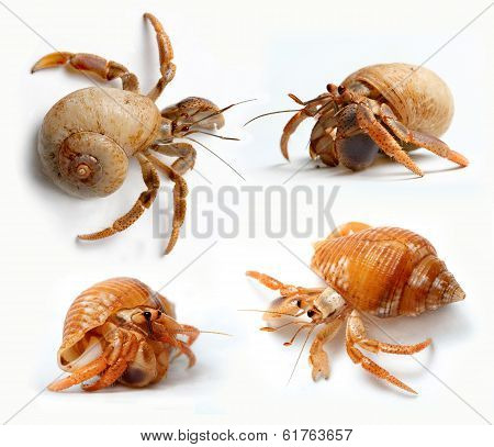 Set of Hermit Crabs from Caribbean Sea