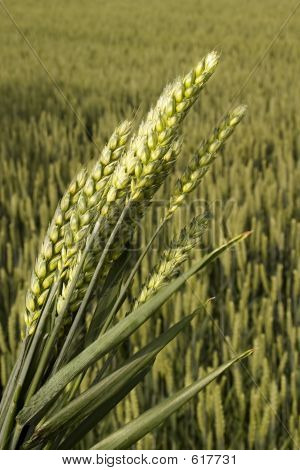 Wheat With Closeup