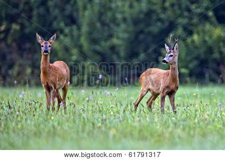 Buck deer with roe-deer in the wild