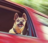 small chihuahua mix in a red vehicle poster
