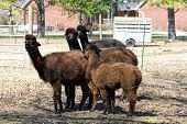 These are Peruvian Alpacas that are on a farm in north Alabama USA. These beautiful animals are raised for their fur with is spun into yarn for warm clothing. poster