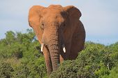 Elephant in the African bush poster