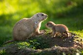 Cute black tailed prairie dog with a youngster (Cynomys ludovicianus) poster
