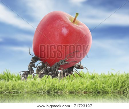 team of ants carry red apple