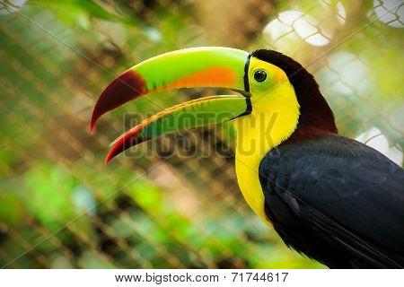 Colorful Toucan Bird