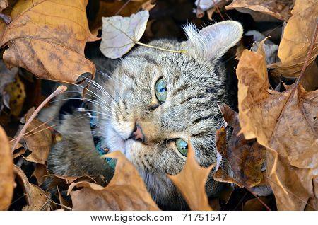 Cute Highland Lynx Cat in Leaves