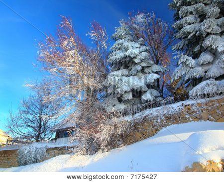 Fir Trees In Snow