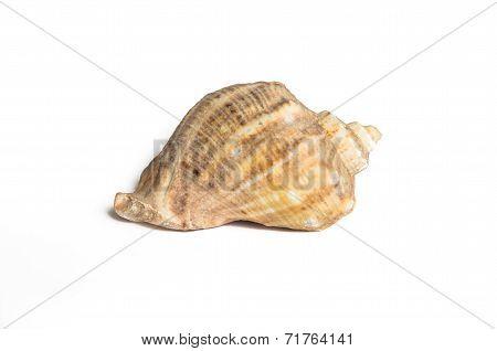 Isolated Seashell