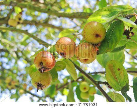 Cider Apples On Tree In Calvados Region
