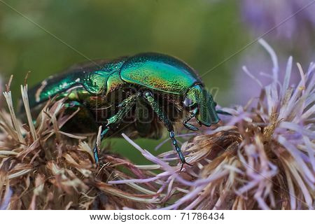 Chafer Beetle  On A Flower.