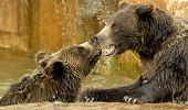 Two brown bears poster