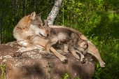 Grey Wolf (Canis lupus) and Pup on Rock Looking Right - captive animals poster